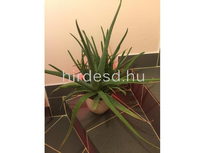 Aloe növendék - 1