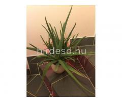 Aloe növendék - Kép 1