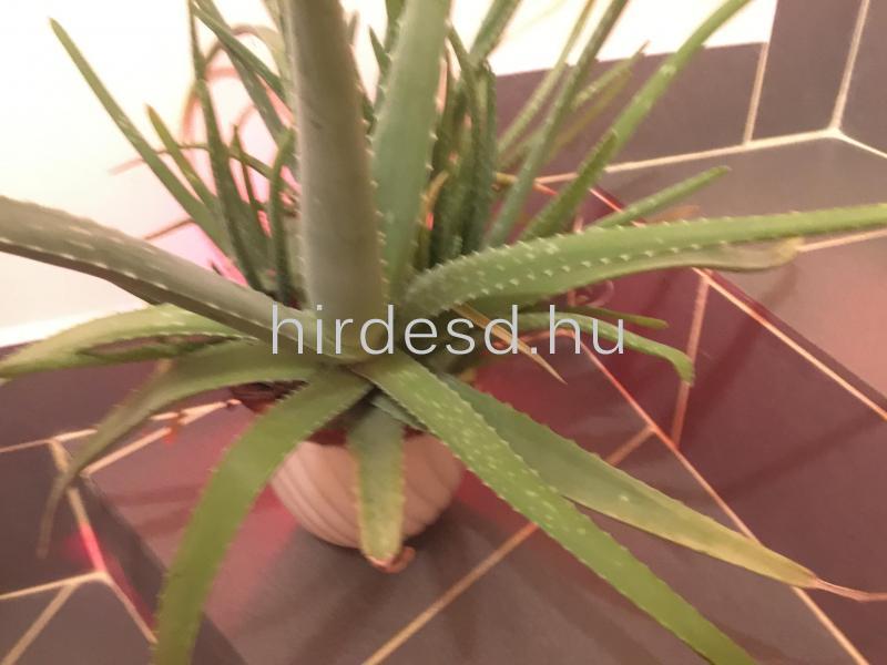 Aloe növendék - 2