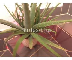 Aloe növendék - Kép 2
