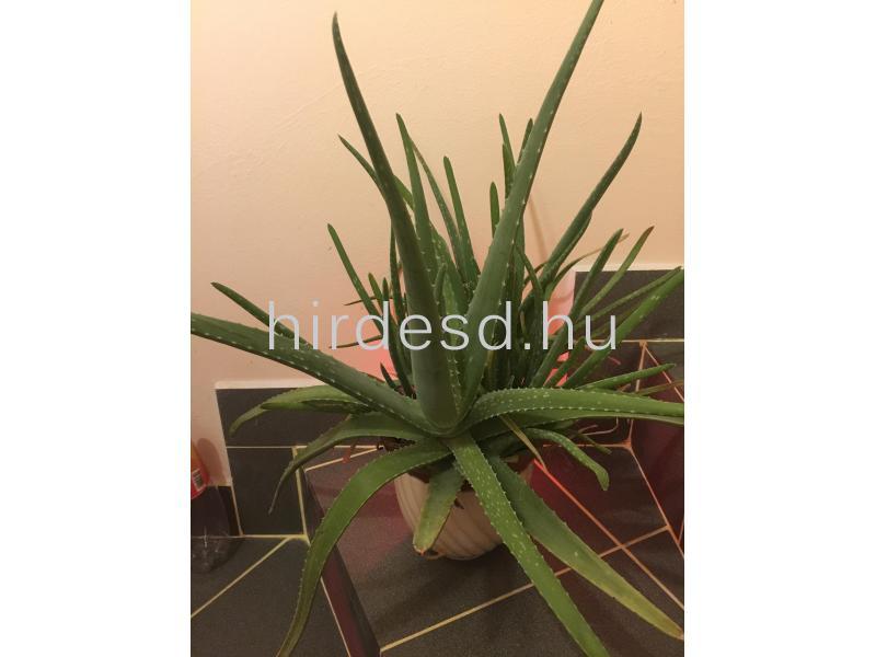Aloe növendék - 3