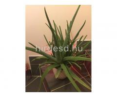 Aloe növendék - Kép 3